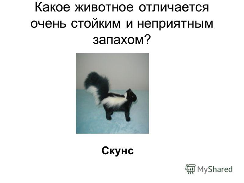 Какое животное отличается очень стойким и неприятным запахом? Скунс