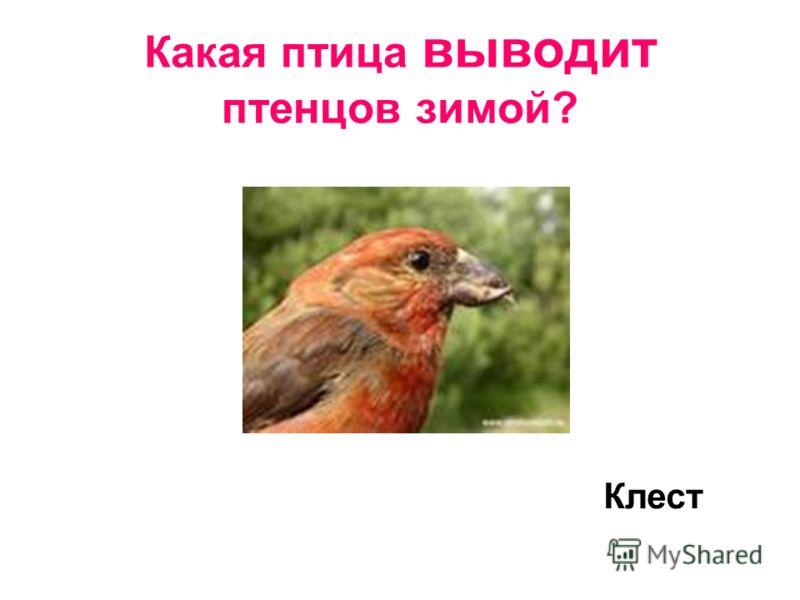 Какая птица выводит птенцов зимой? Клест