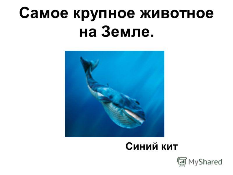 Самое крупное животное на Земле. Синий кит