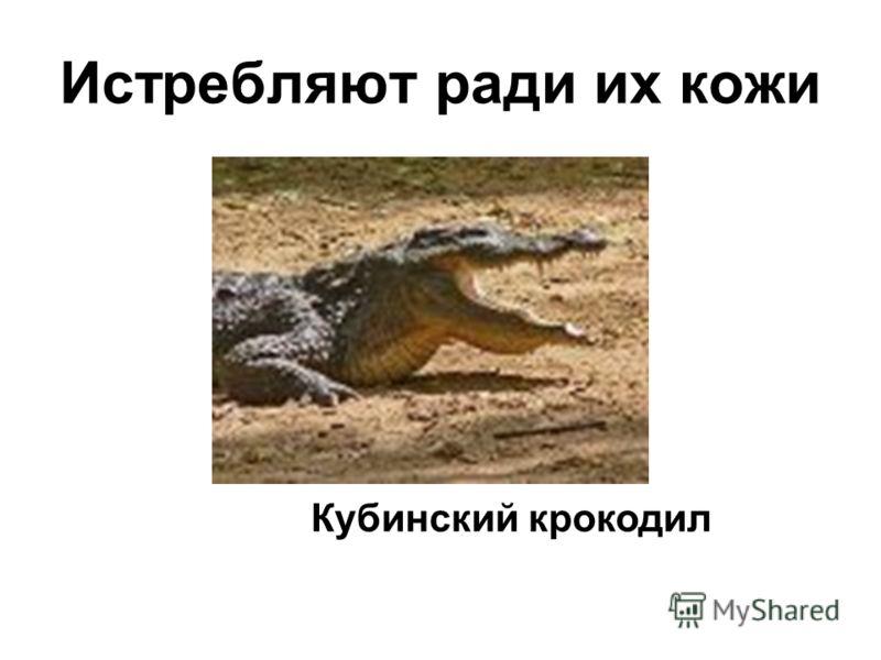 Истребляют ради их кожи Кубинский крокодил