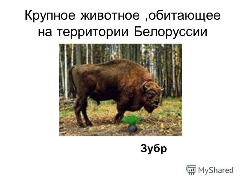 Крупное животное,обитающее на территории Белоруссии Зубр