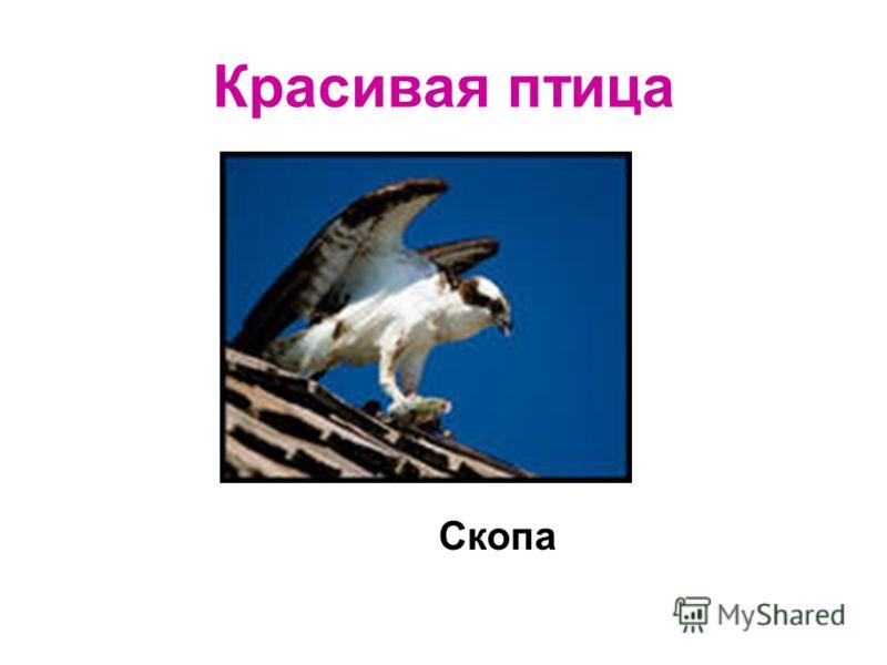 Красивая птица Скопа
