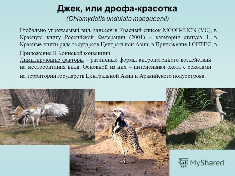 Джек, или дрофа-красотка (Chlamydotis undulata macqueenii) Глобально угрожаемый вид, занесен в Красный список МСОП-IUCN (VU), в Красную книгу Российской Федерации (2001) – категория статуса 1, в Красные книги ряда государств Центральной Азии, в Прило