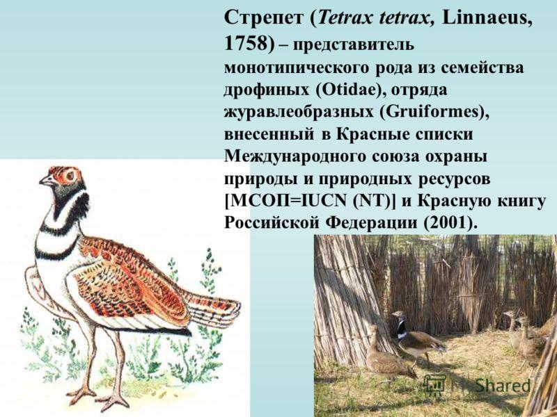 Стрепет (Tetrax tetrax, Linnaeus, 1758) – представитель монотипического рода из семейства дрофиных (Otidae), отряда журавлеобразных (Gruiformes), внесенный в Красные списки Международного союза охраны природы и природных ресурсов [МСОП=IUCN (NT)] и К