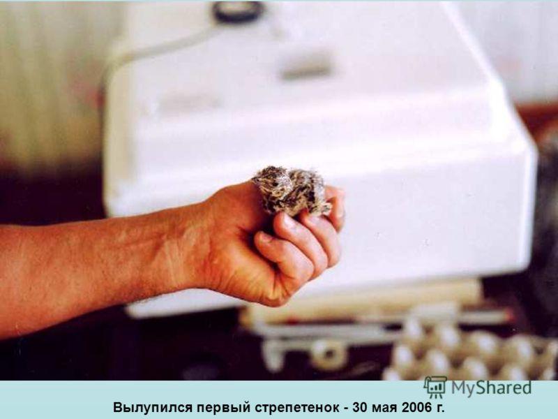 Вылупился первый стрепетенок - 30 мая 2006 г.
