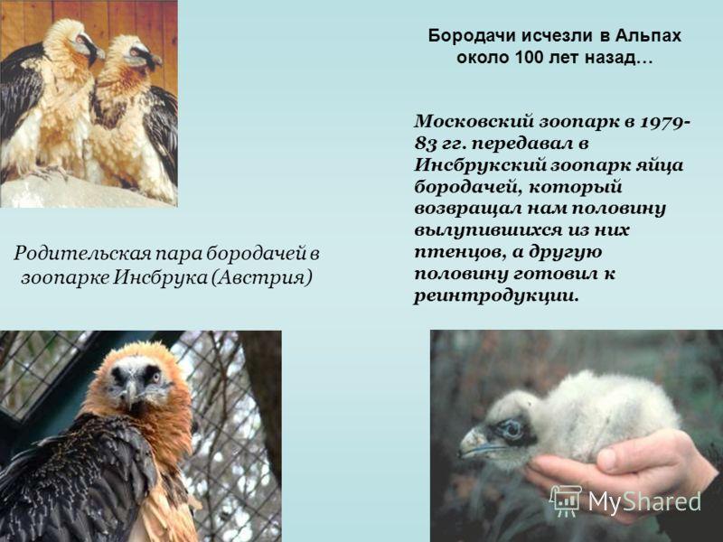 Родительская пара бородачей в зоопарке Инсбрука (Австрия) Московский зоопарк в 1979- 83 гг. передавал в Инсбрукский зоопарк яйца бородачей, который возвращал нам половину вылупившихся из них птенцов, а другую половину готовил к реинтродукции. Бородач