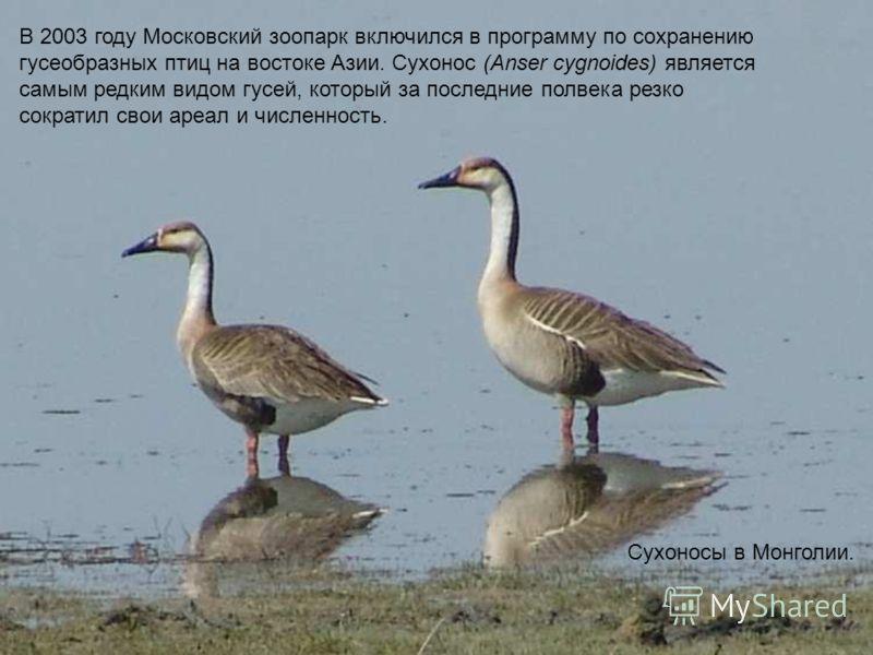 NNN Сухоносы в Монголии. В 2003 году Московский зоопарк включился в программу по сохранению гусеобразных птиц на востоке Азии. Сухонос (Anser cygnoides) является самым редким видом гусей, который за последние полвека резко сократил свои ареал и числе