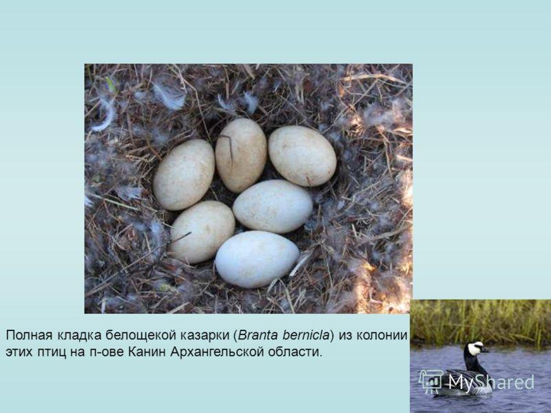 Полная кладка белощекой казарки (Branta bernicla) из колонии этих птиц на п-ове Канин Архангельской области.