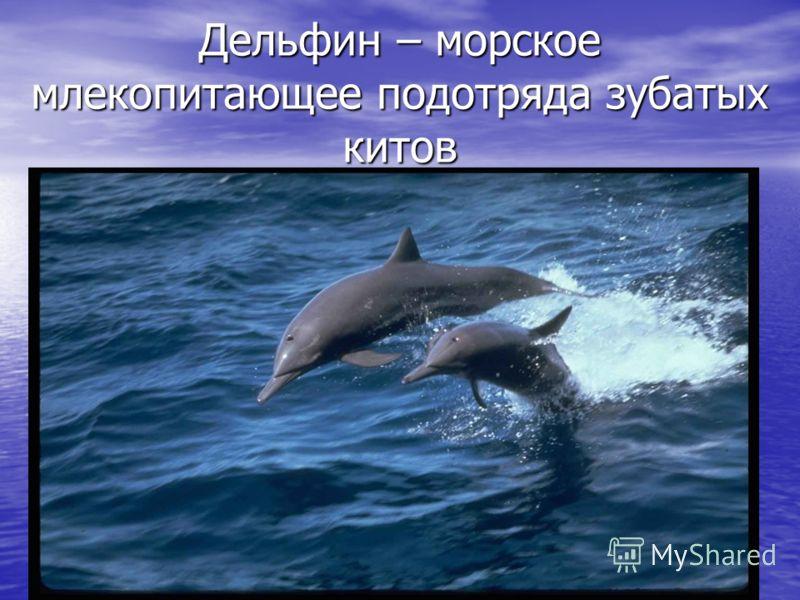 Дельфин – морское млекопитающее подотряда зубатых китов