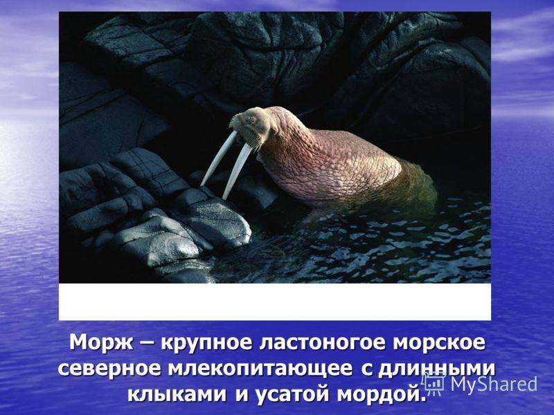 Морж – крупное ластоногое морское северное млекопитающее с длинными клыками и усатой мордой.