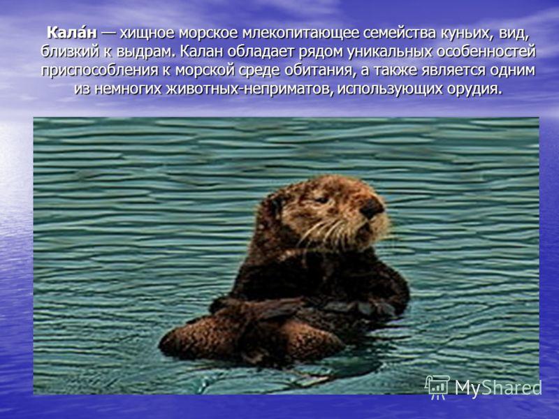 Кала́н хищное морское млекопитающее семейства куньих, вид, близкий к выдрам. Калан обладает рядом уникальных особенностей приспособления к морской среде обитания, а также является одним из немногих животных-неприматов, использующих орудия.