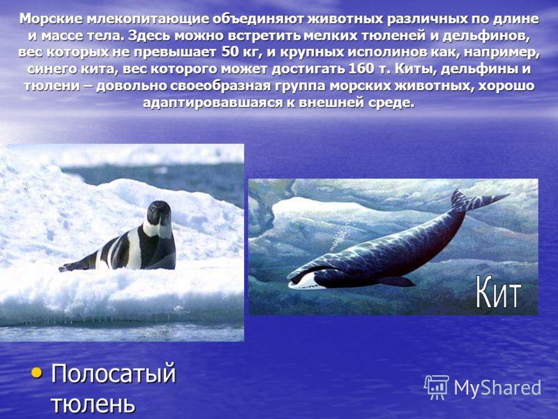 Морские млекопитающие объединяют животных различных по длине и массе тела. Здесь можно встретить мелких тюленей и дельфинов, вес которых не превышает 50 кг, и крупных исполинов как, например, синего кита, вес которого может достигать 160 т. Киты, дел