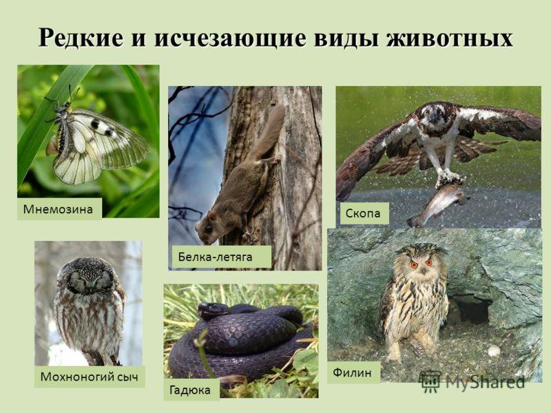 Редкие и исчезающие виды животных Мнемозина Белка-летяга Скопа Филин Гадюка Мохноногий сыч