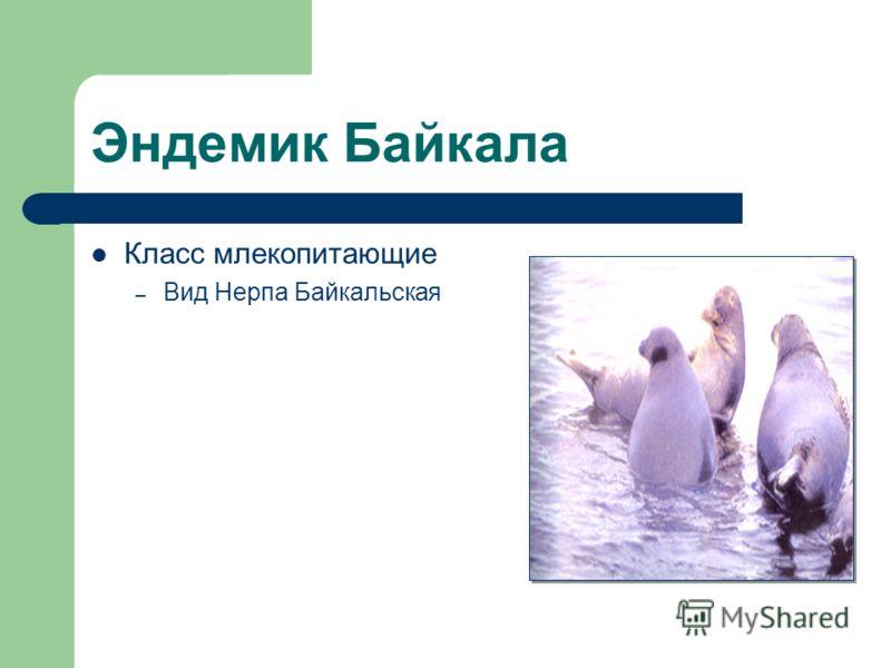 Эндемик Байкала Класс млекопитающие – Вид Нерпа Байкальская