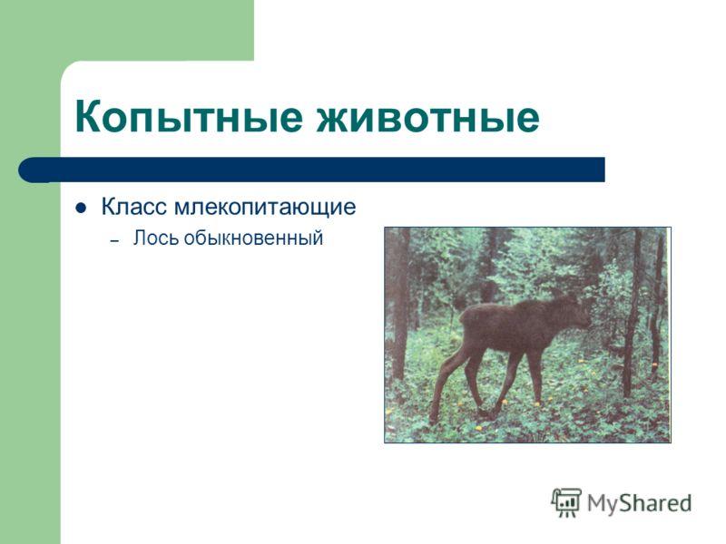 Копытные животные Класс млекопитающие – Лось обыкновенный