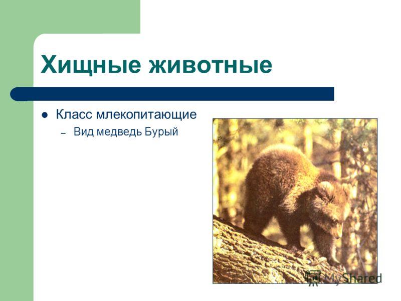 Хищные животные Класс млекопитающие – Вид медведь Бурый