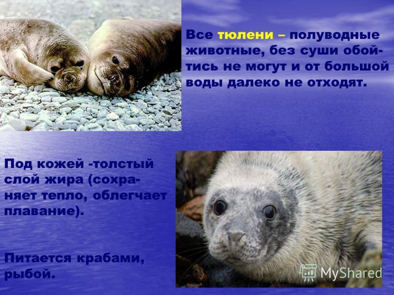 Все тюлени – полуводные животные, без суши обой- тись не могут и от большой воды далеко не отходят. Под кожей -толстый слой жира (сохра- няет тепло, облегчает плавание). Питается крабами, рыбой.