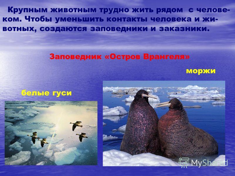 Крупным животным трудно жить рядом с челове- ком. Чтобы уменьшить контакты человека и жи- вотных, создаются заповедники и заказники. Заповедник «Остров Врангеля» белые гуси моржи