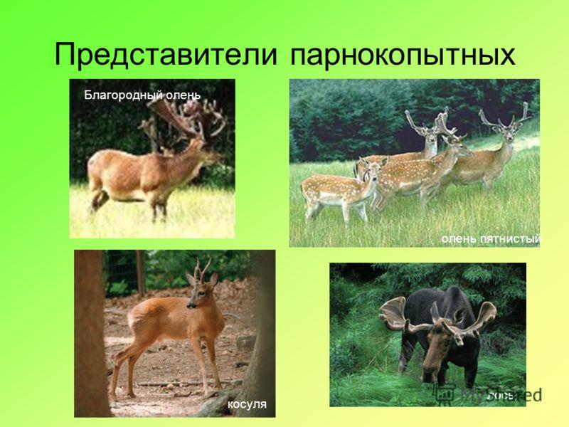 Представители парнокопытных косуля олень пятнистый лось Благородный олень
