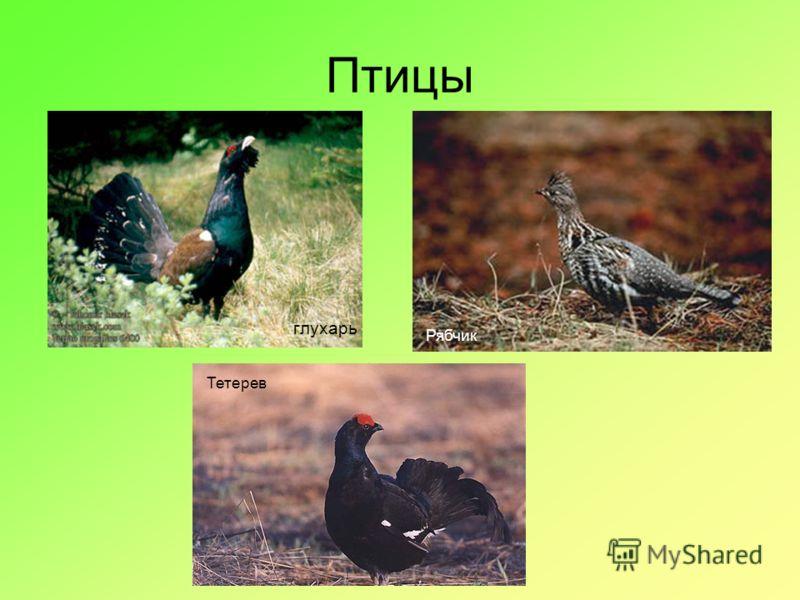 Птицы глухарь Тетерев Рябчик Тетерев