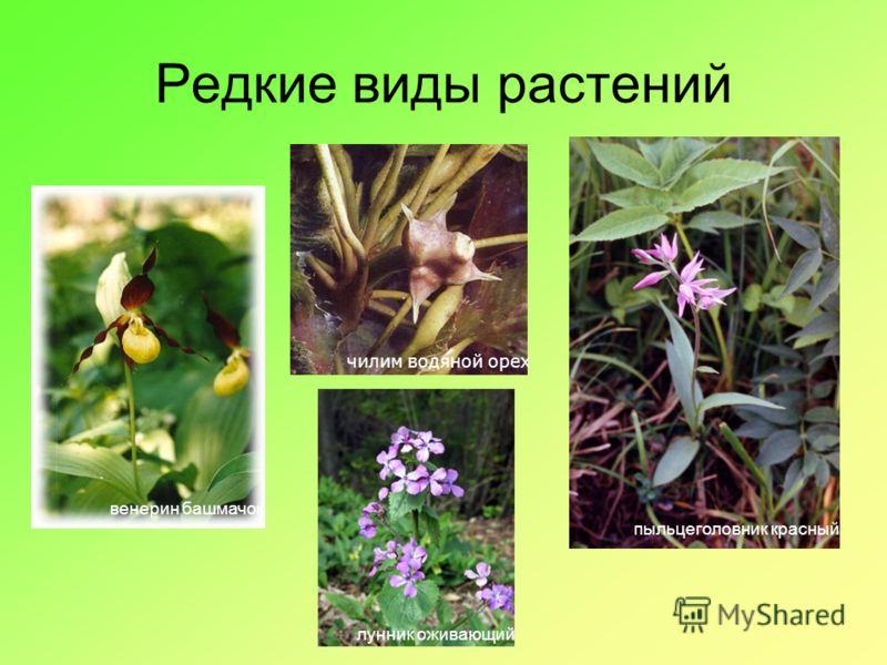Редкие виды растений венерин башмачок чилим водяной орех пыльцеголовник красный лунник оживающий