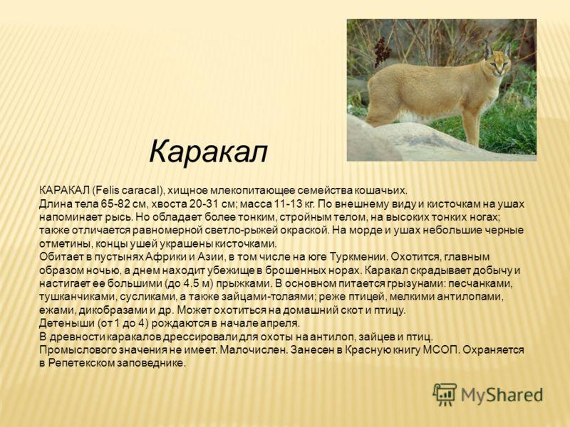 Каракал КАРАКАЛ (Felis caracal), хищное млекопитающее семейства кошачьих. Длина тела 65-82 см, хвоста 20-31 см; масса 11-13 кг. По внешнему виду и кисточкам на ушах напоминает рысь. Но обладает более тонким, стройным телом, на высоких тонких ногах; т