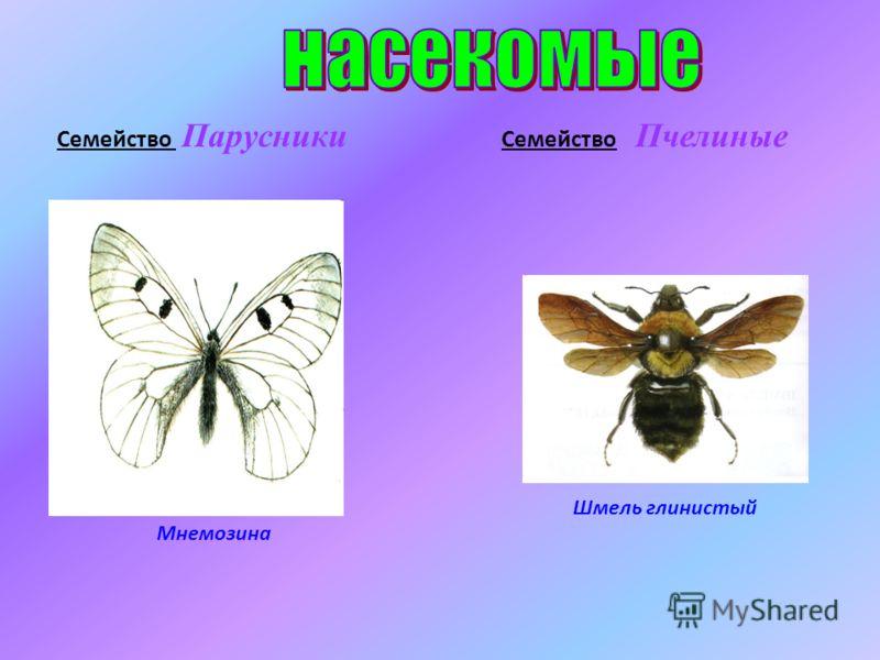 Мнемозина Шмель глинистый Семейство Парусники Семейство Пчелиные
