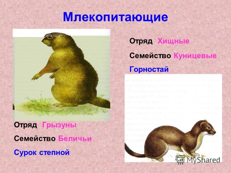 Млекопитающие Отряд Хищные Семейство Куницевые Горностай Отряд Грызуны Семейство Беличьи Сурок степной