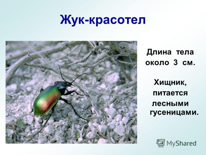 Жук-красотел Длина тела около 3 см. Хищник, питается лесными гусеницами.