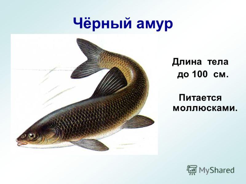 Чёрный амур Длина тела до 100 см. Питается моллюсками.