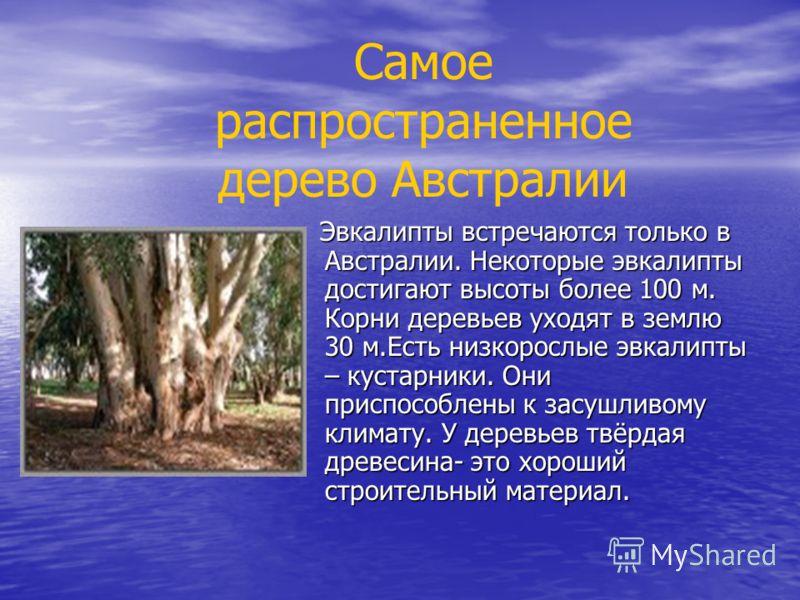 Эвкалипты встречаются только в Австралии. Некоторые эвкалипты достигают высоты более 100 м. Корни деревьев уходят в землю 30 м.Есть низкорослые эвкалипты – кустарники. Они приспособлены к засушливому климату. У деревьев твёрдая древесина- это хороший