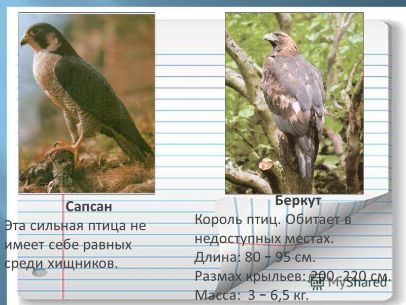 Сапсан Эта сильная птица не имеет себе равных среди хищников. Беркут Король птиц. Обитает в недоступных местах. Длина: 80 – 95 см. Размах крыльев: 200 -220 см. Масса: 3 – 6,5 кг.