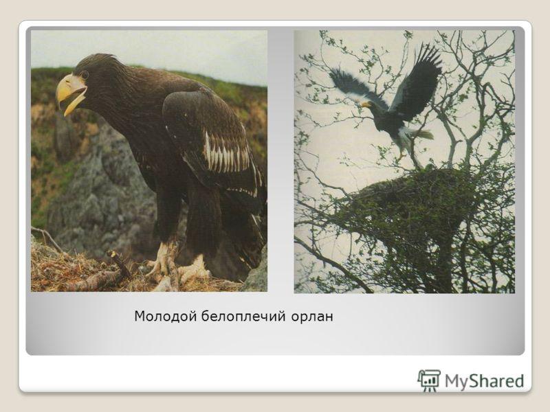 60 видов млекопитающих известны для Южной Камчатки, в пределах которой находится природный парк. Тонкоклювые кайры
