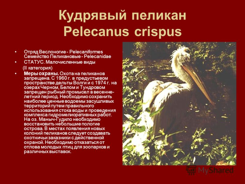 Кудрявый пеликан Pelecanus crispus Отряд Веслоногие - Pelecaniformes Семейство Пеликановые - Pelecanidae СТАТУС. Малочисленные виды (II категория) Меры охраны. Охота на пеликанов запрещена. С 1960 г. в предустьевом пространстве дельты Волги и с 1974