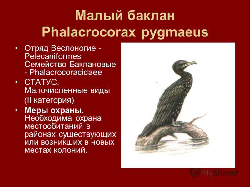 Малый баклан Phalacrocorax pygmaeus Отряд Веслоногие - Pelecaniformes Семейство Баклановые - Phalacrocoracidaee СТАТУС. Малочисленные виды (II категория) Меры охраны. Необходима охрана местообитаний в районах существующих или возникших в новых местах