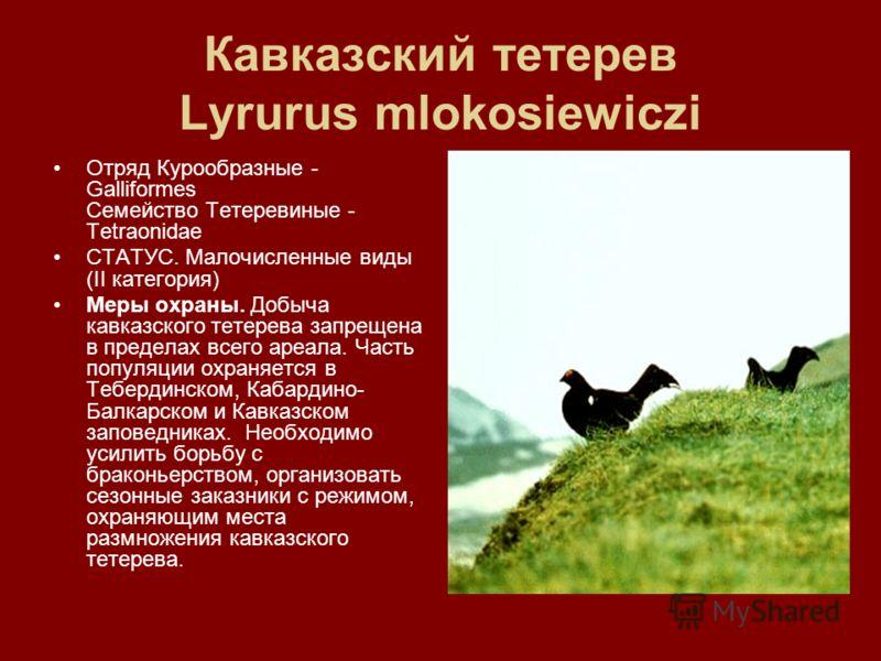 Кавказский тетерев Lyrurus mlokosiewiczi Отряд Курообразные - Galliformes Семейство Тетеревиные - Tetraonidae СТАТУС. Малочисленные виды (II категория) Меры охраны. Добыча кавказского тетерева запрещена в пределах всего ареала. Часть популяции охраня