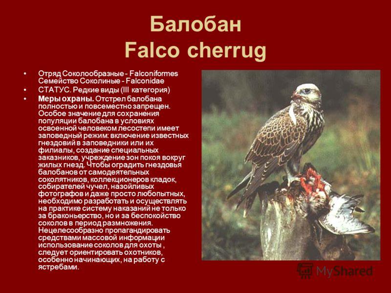 Балобан Falco cherrug Отряд Соколообразные - Falconiformes Семейство Соколиные - Falconidae СТАТУС. Редкие виды (III категория) Меры охраны. Отстрел балобана полностью и повсеместно запрещен. Особое значение для сохранения популяции балобана в услови