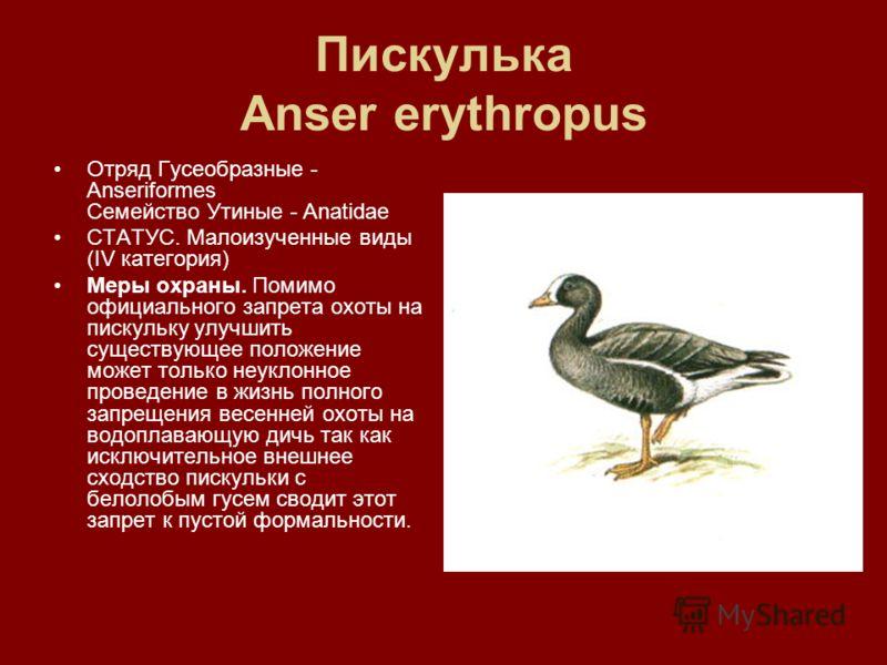 Пискулька Anser erythropus Отряд Гусеобразные - Аnseriformes Семейство Утиные - Anatidae СТАТУС. Малоизученные виды (IV категория) Меры охраны. Помимо официального запрета охоты на пискульку улучшить существующее положение может только неуклонное про