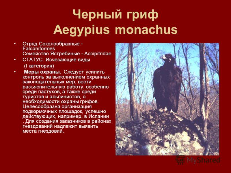 Черный гриф Aegypius monachus Отряд Соколообразные - Falconiformes Семейство Ястребиные - Accipitridae СТАТУС. Исчезающие виды (I категория) Меры охраны. Следует усилить контроль за выполнением охранных законодательных мер, вести разъяснительную рабо