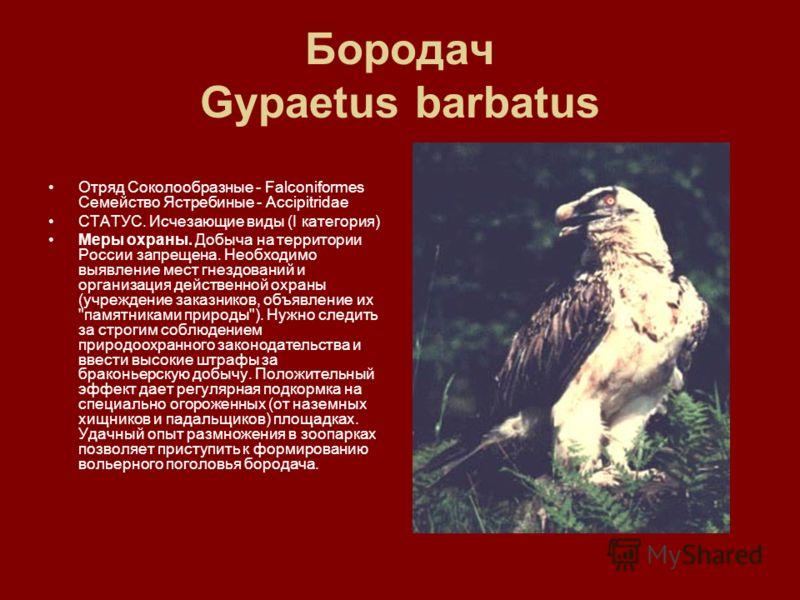 Бородач Gypaetus barbatus Отряд Соколообразные - Falconiformes Семейство Ястребиные - Accipitridae СТАТУС. Исчезающие виды (I категория) Меры охраны. Добыча на территории России запрещена. Необходимо выявление мест гнездований и организация действенн