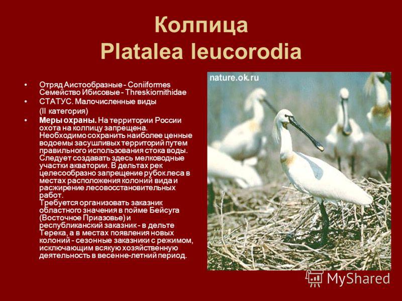 Колпица Platalea leucorodia Отряд Аистообразные - Coniiformes Семейство Ибисовые - Threskiornithidae СТАТУС. Малочисленные виды (II категория) Меры охраны. На территории России охота на колпицу запрещена. Необходимо сохранить наиболее ценные водоемы