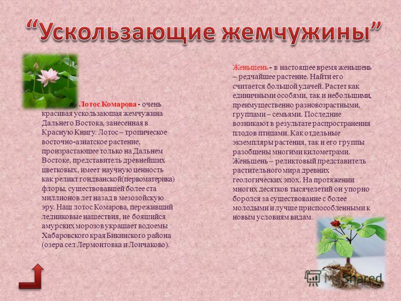 Лотос Комарова - очень красивая ускользающая жемчужина Дальнего Востока, занесенная в Красную Книгу. Лотос – тропическое восточно-азиатское растение, произрастающее только на Дальнем Востоке, представитель древнейших цветковых, имеет научную ценность