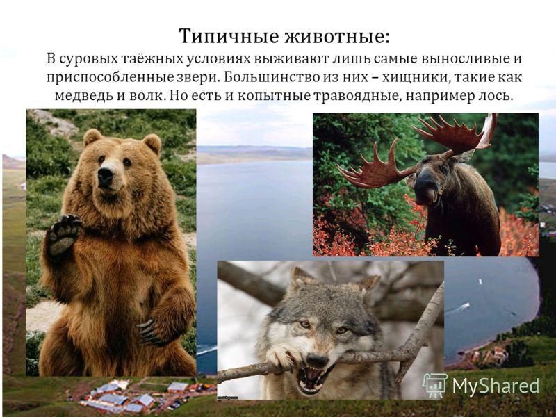 Типичные животные: В суровых таёжных условиях выживают лишь самые выносливые и приспособленные звери. Большинство из них – хищники, такие как медведь и волк. Но есть и копытные травоядные, например лось.