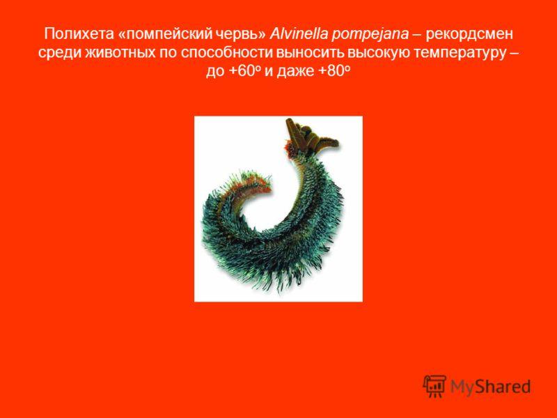 Полихета «помпейский червь» Alvinella pompejana – рекордсмен среди животных по способности выносить высокую температуру – до +60 о и даже +80 о