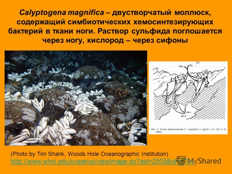 Calyptogena magnifica – двустворчатый моллюск, содержащий симбиотических хемосинтезирующих бактерий в ткани ноги. Раствор сульфида поглошается через ногу, кислород – через сифоны (Photo by Tim Shank, Woods Hole Oceanographic Institution) http://www.w