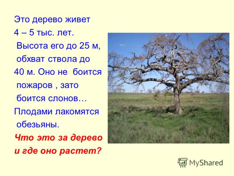 Это дерево живет 4 – 5 тыс. лет. Высота его до 25 м, обхват ствола до 40 м. Оно не боится пожаров, зато боится слонов… Плодами лакомятся обезьяны. Что это за дерево и где оно растет?