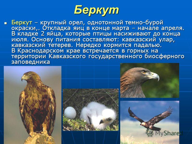 13Беркут Беркут – крупный орел, однотонной темно-бурой окраски,. Откладка яиц в конце марта – начале апреля. В кладке 2 яйца, которые птицы насиживают до конца июля. Основу питания составляют: кавказский улар, кавказский тетерев. Нередко кормится пад