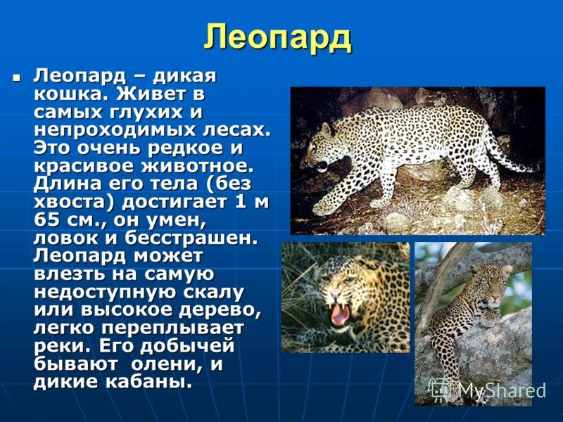 19Леопард Леопард – дикая кошка. Живет в самых глухих и непроходимых лесах. Это очень редкое и красивое животное. Длина его тела (без хвоста) достигает 1 м 65 см., он умен, ловок и бесстрашен. Леопард может влезть на самую недоступную скалу или высок