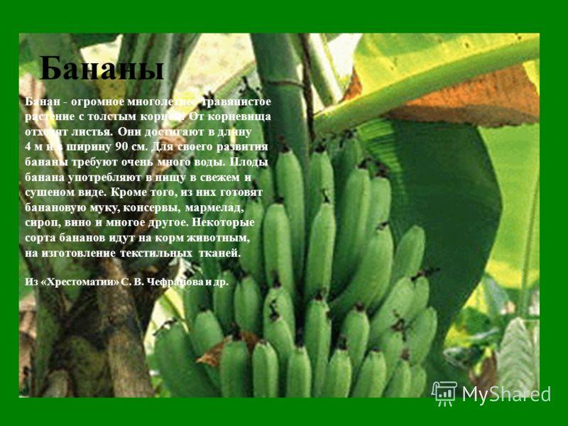 Бананы Банан - огромное многолетнее травянистое растение с толстым корнем. От корневища отходят листья. Они достигают в длину 4 м и в ширину 90 см. Для своего развития бананы требуют очень много воды. Плоды банана употребляют в пищу в свежем и сушено
