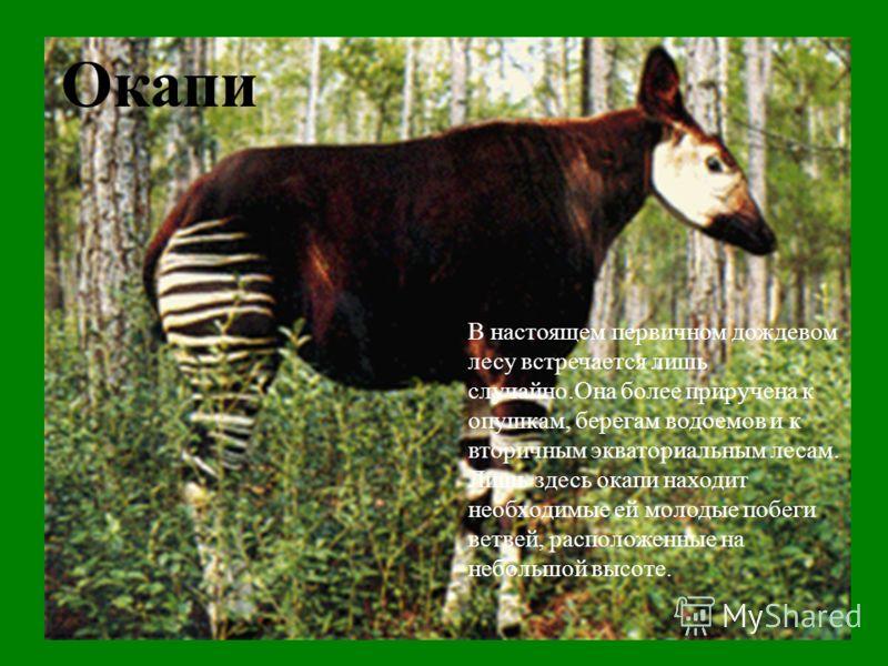 Окапи В настоящем первичном дождевом лесу встречается лишь случайно.Она более приручена к опушкам, берегам водоемов и к вторичным экваториальным лесам. Лишь здесь окапи находит необходимые ей молодые побеги ветвей, расположенные на небольшой высоте.